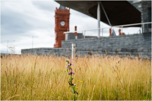 Senedd Wildflower Strip